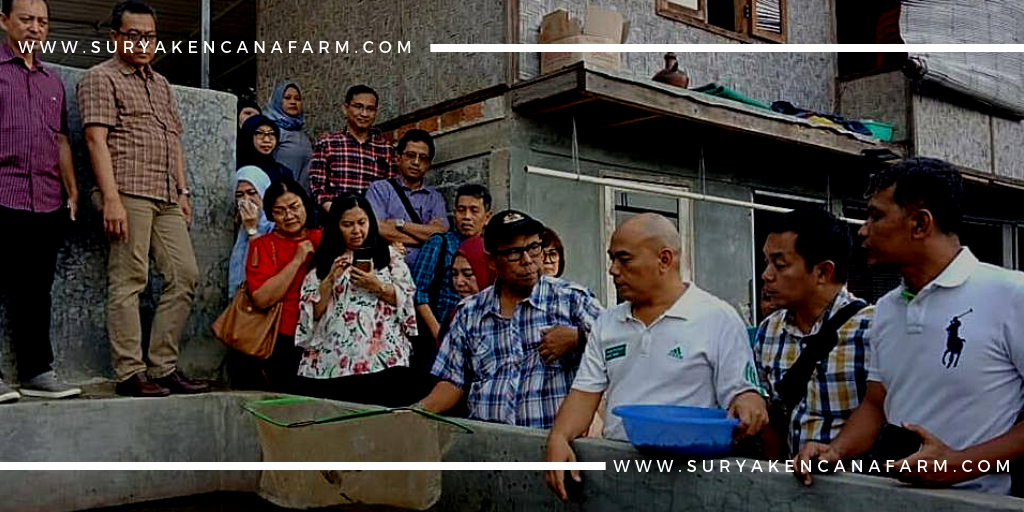 Pelatihan Budidaya Lele Sangkuriang Surya Kencana Farm Recommended